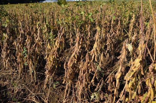 收穫前的大豆田
