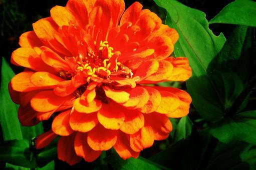 Snow crab (Orange) # 8