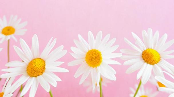 Cute marguerite flower pink