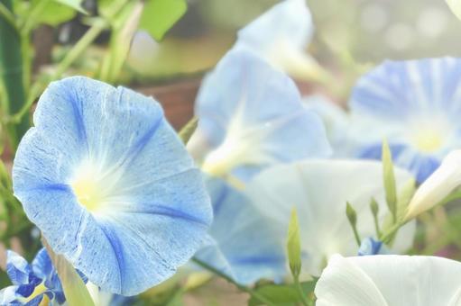 淡藍色牽牛花飛碟背景