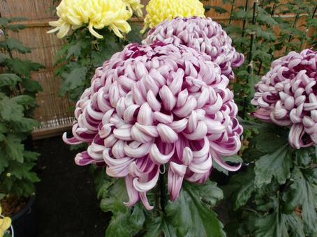 자주색 국화 꽃