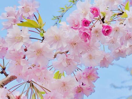 벚꽃 푸른 하늘