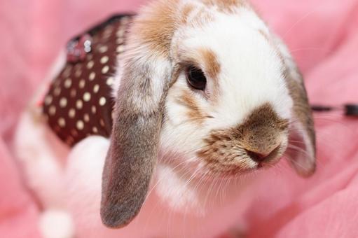 兔Miniroppu