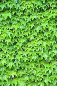Fresh green leaves ivy ivy