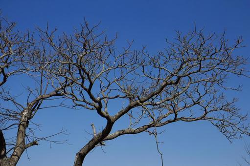 멀 구슬 나무