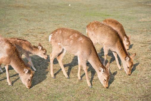 잔디를 먹고 겨울 머리에 사슴의 무리 001