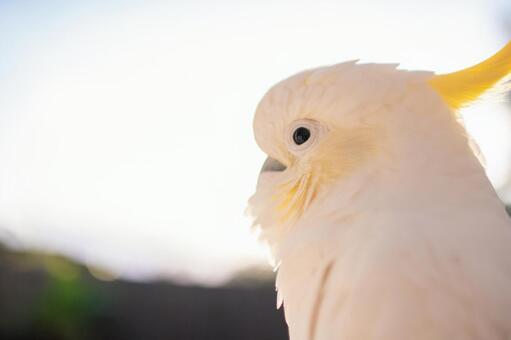 澳大利亞野鳥Kivatan英文名Cockatoo背光是早晨太陽的右側