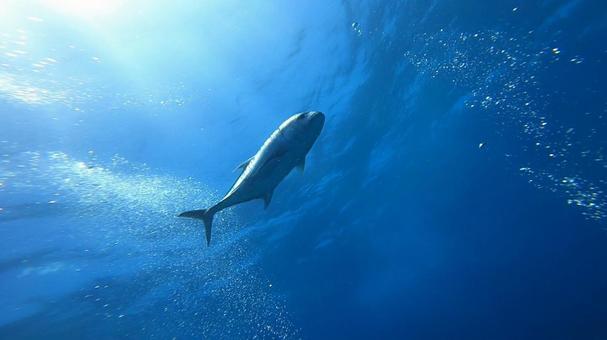 Giant Trevally Silhouette Kerama Islands Diving Point Uchizan Reef
