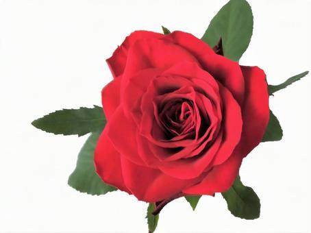 赤いバラの写真素材 写真素材なら 写真ac 無料 フリー ダウンロードok