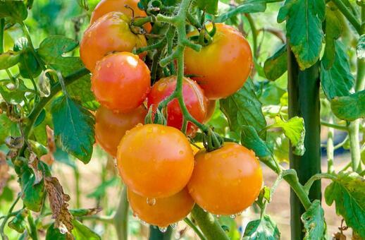 물이 뚝뚝 떨어지는 토마토