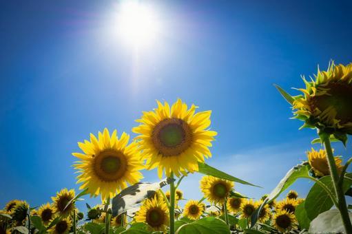Glittering sunshine and sunflower flowers up in summer