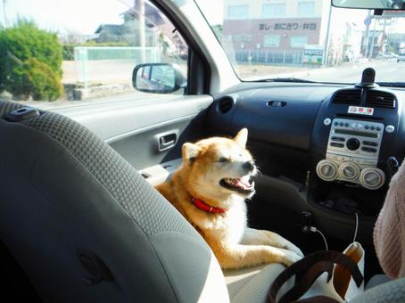 Shiba Inu in the passenger seat