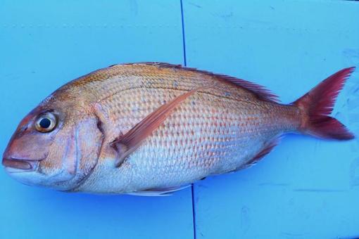 【Fish / Fishing】 Snapper