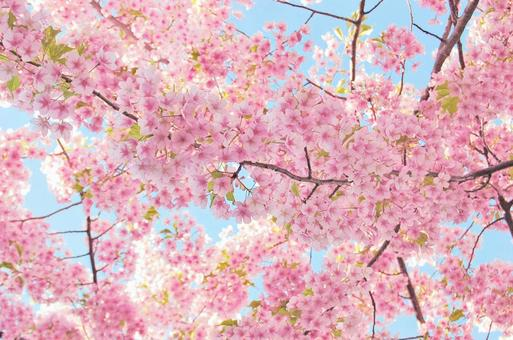 Blue sky and cherry blossoms in full bloom (Flash shooting)