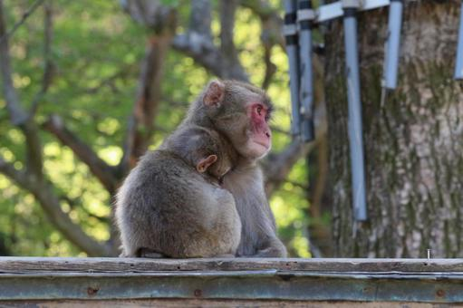 Parent and child of Japanese macaque