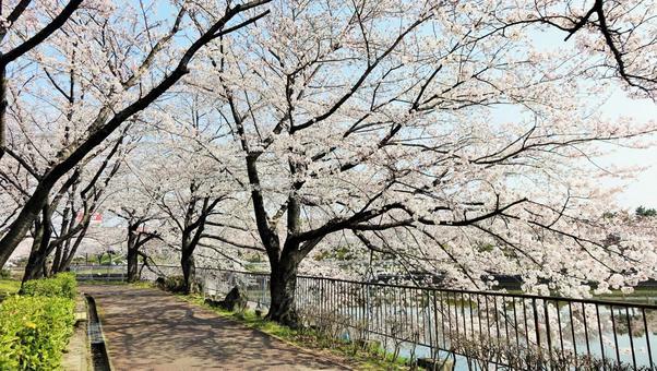 Akiko Sakura River Park Minato Ward, Nagoya City