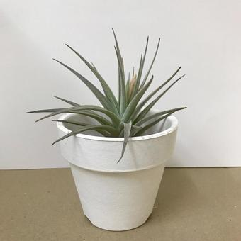 Airplants in a white flowerpot
