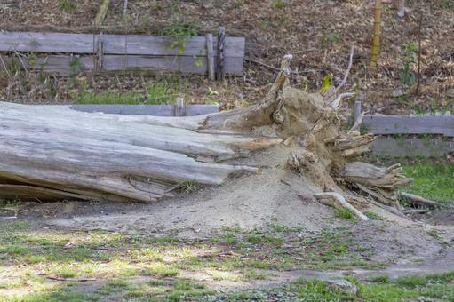 폭풍에 송두리째 무너 뜨리 된 거목 2