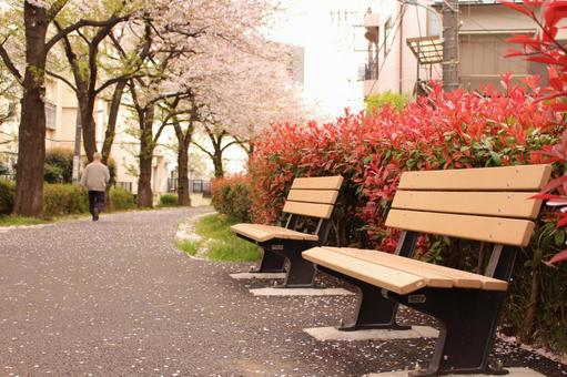 Cherry blossoms and benches
