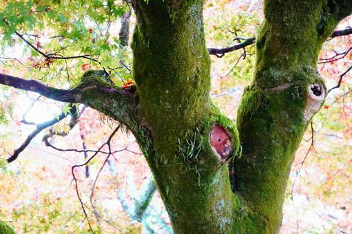 Autumn Kyoto moss-grown old tree