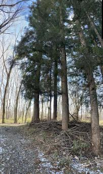 Sugi tree