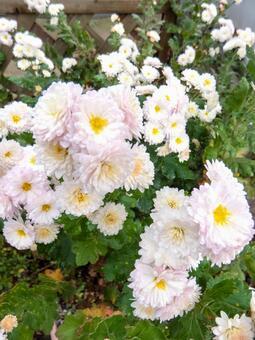 밝은 핑크의 소국 꽃