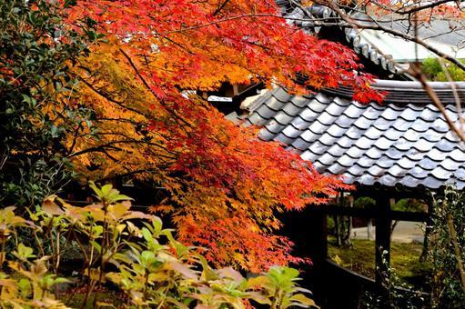 Kyoto Autumn leaves Tenryu-ji Temple in Kyoto