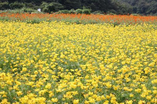 노란색과 오렌지색 코스모스 밭