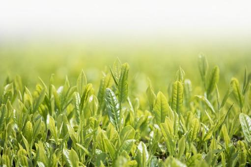 Tea sprouts