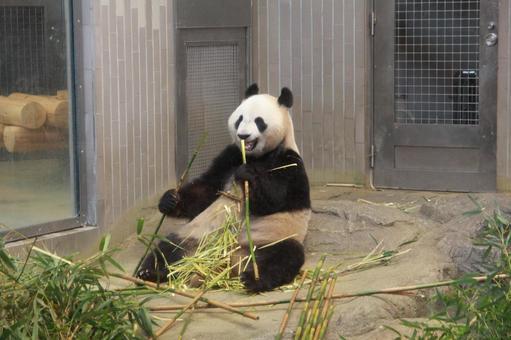 Panda eating in good mood