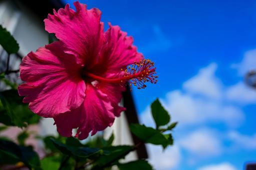 오키나와의 바늘꽃 ~