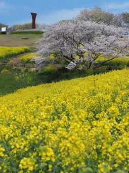 유채 꽃과 벚꽃의 언덕