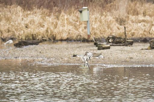 물 까치 오리 수컷이 착수하는 모습 버나비 브리티시 컬럼비아 캐나다