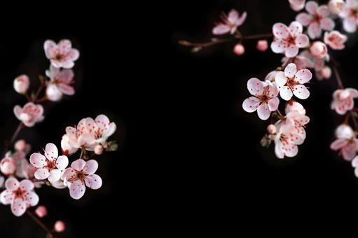 Sakura (cherry blossom) black background flower frame background image