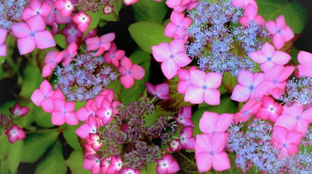 Beautiful purple early summer hydrangea hydrangea hydrangea