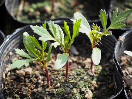 Marigold germination