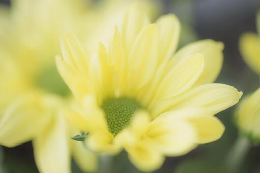 Small chrysanthemum