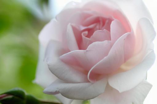 粉紅玫瑰花特寫