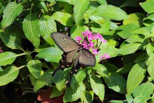 분홍색 꽃과 검은 사향 제비 나비