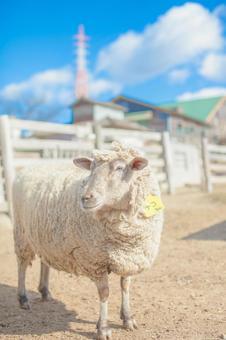 Sheep 55
