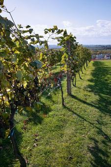 Vineyard of early autumn
