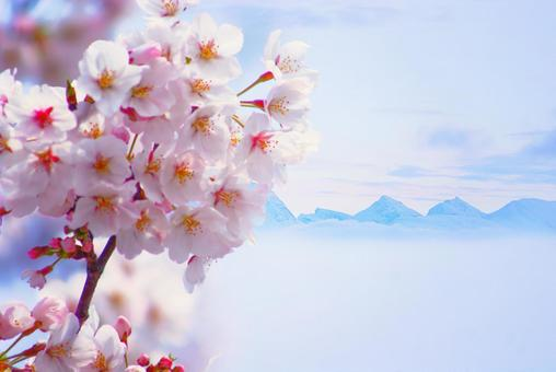 Cherry blossoms bloom in the snowy country