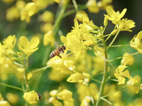 Bee and rape blossom spring image