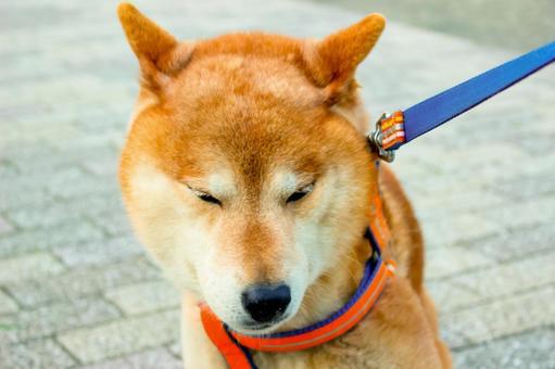 Shiba Inu is disgusted