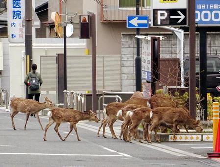 Deer walking in the town of Nara