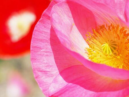 Poppy. 09