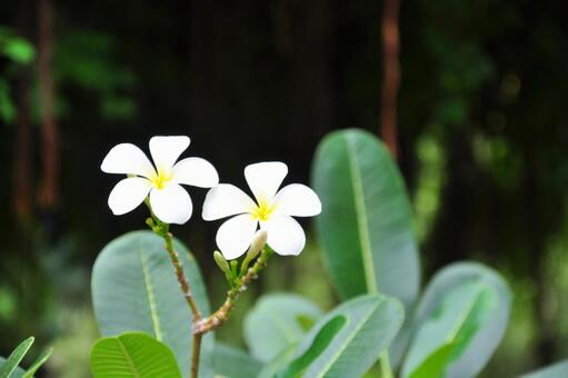 Plumeria Cambodia