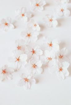 Lots of cherry blossom petals, background material