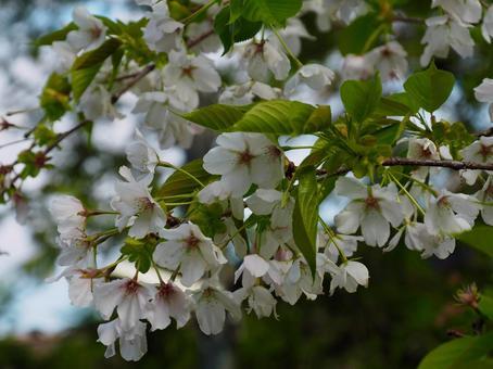 벚꽃 피다 봄의 산