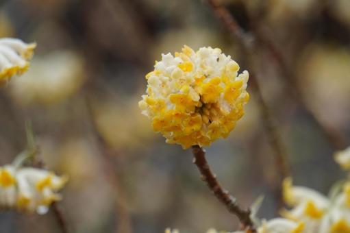 산사의 꽃 황화